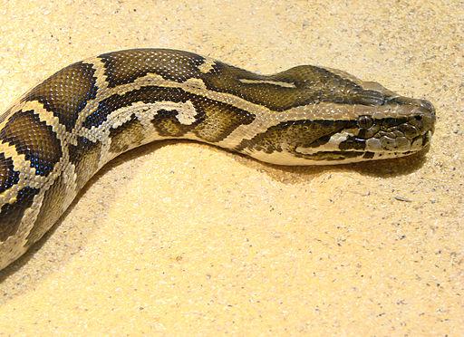 Python_molurus_bivittatus_Ile_aux_Serpents_201108_2